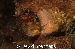 Tompot Blenny under Swanage pier in October 2008.  Taken ... by David Stephens 